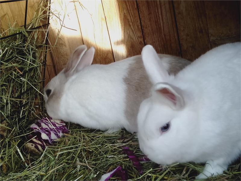 Conigli del Schornhof