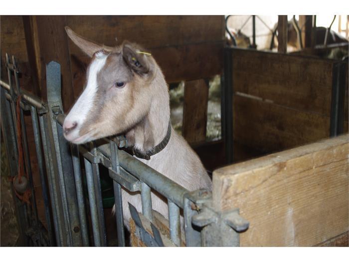 la nostra capra Lina