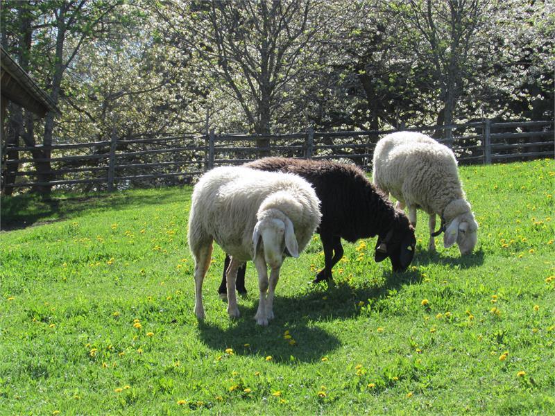 Pecore dal Schornhof