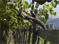 Guided Tour on the vineyards of Castelbello
