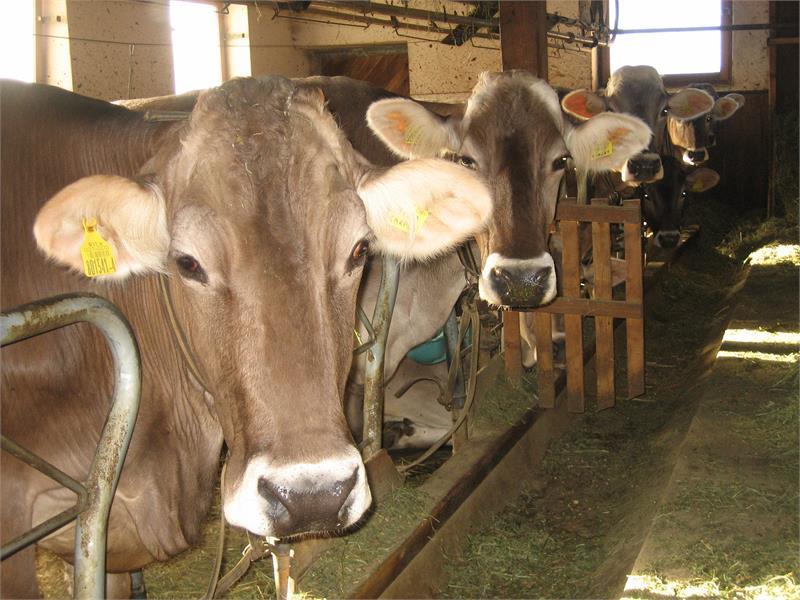 Stall mit Kühen