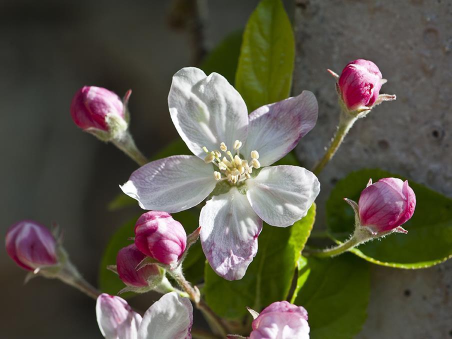 Gesunder Genuss: Führung im Apfelgarten mit Apfelverkostung in der OG Juval