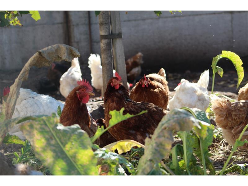 Glückliche Hühner am Wieserhof in Vöran