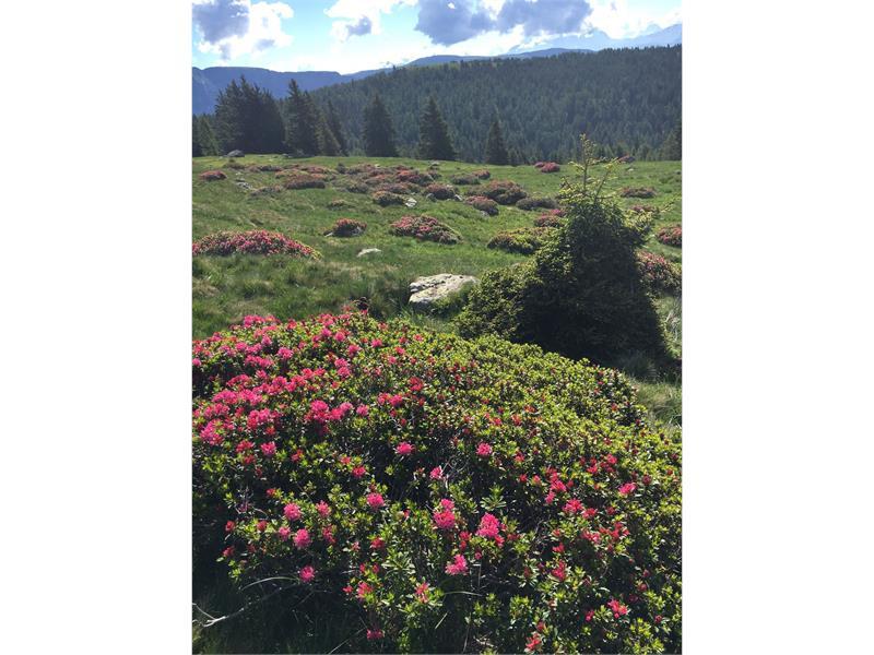 Alps rose