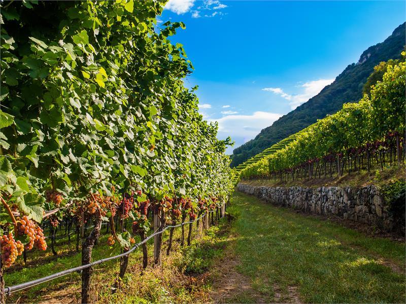 Reblandschaften am Gewürztraminer Weinweg