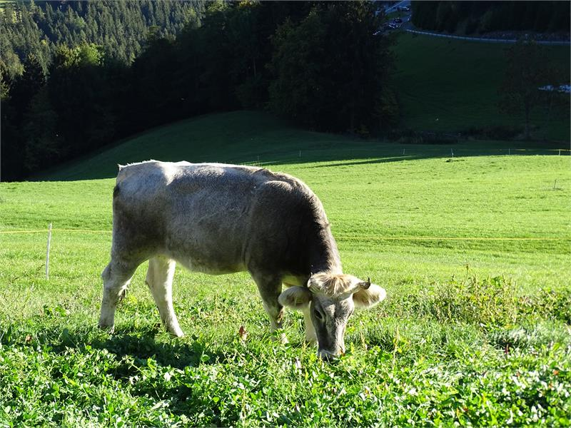 Cows at the Rotsteinhof farm in Verano/Vöran, South Tyrol