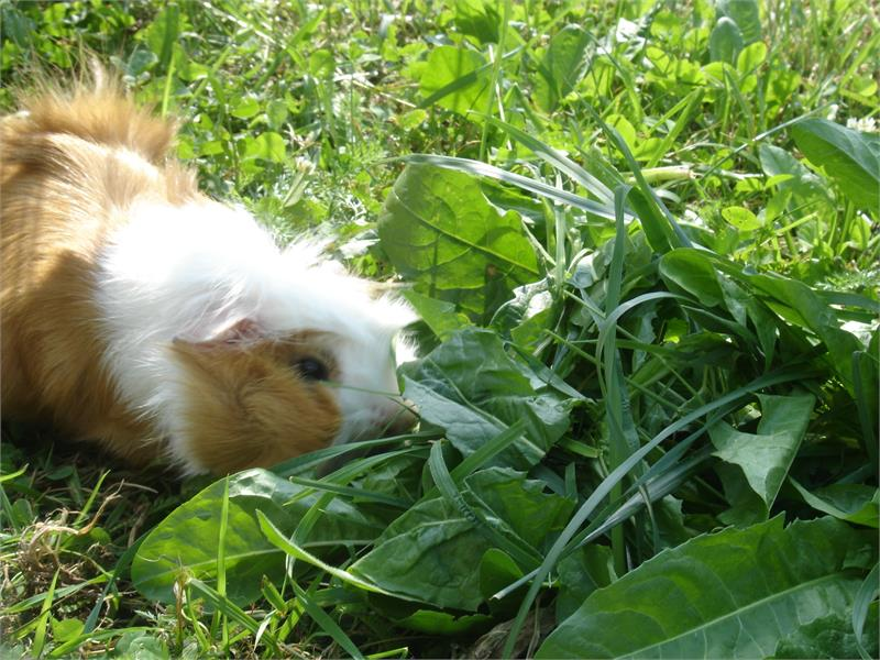 Our guinea pig - Brunnerhof in Avelengo