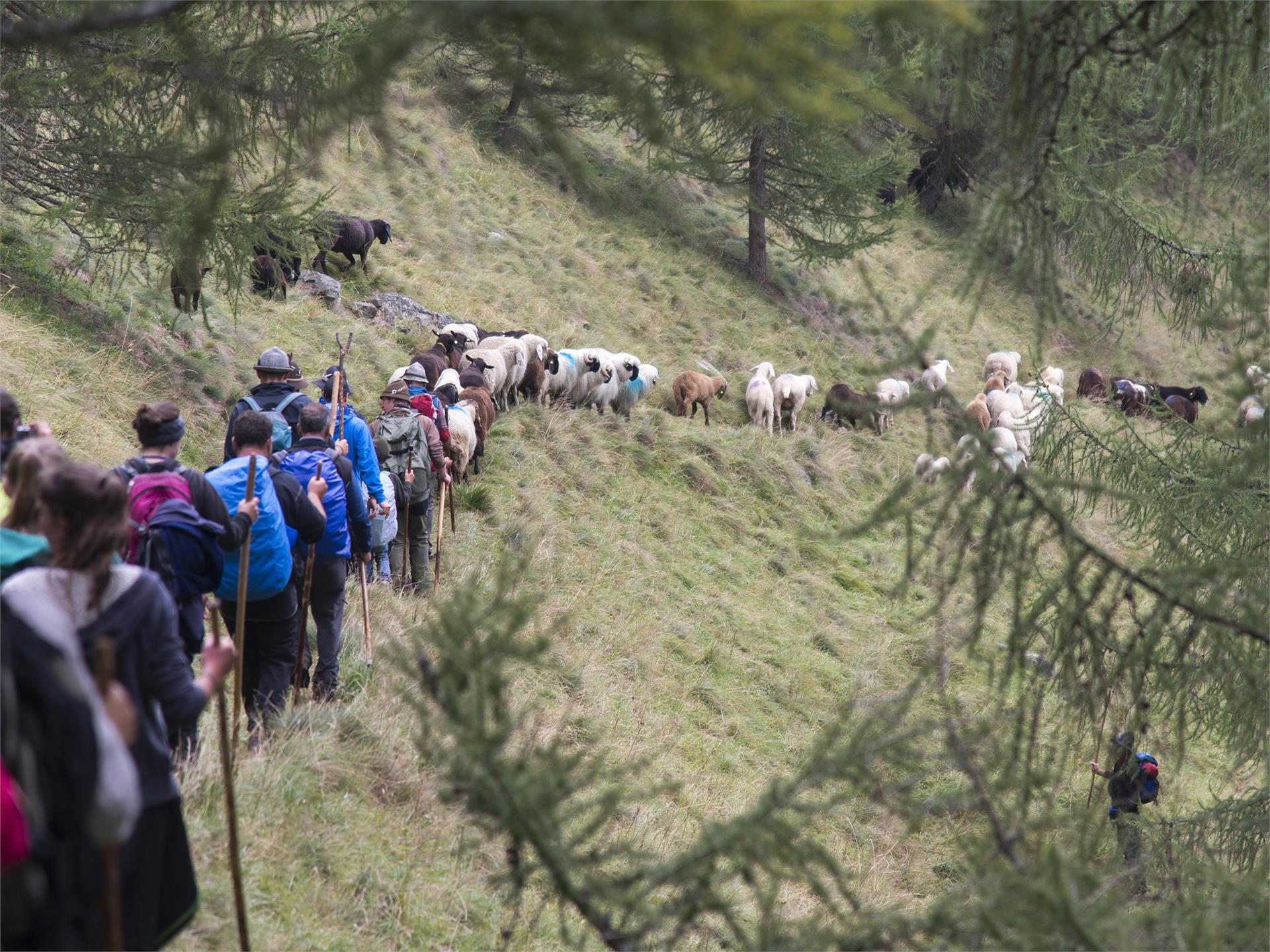 Traditional herding of sheep from high pasture in Vernago