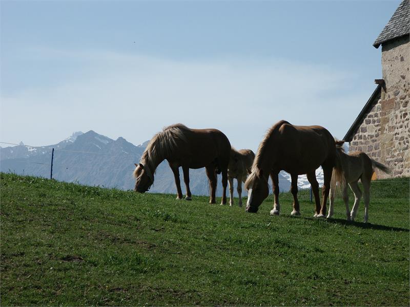 I famosi cavalli avelignesi