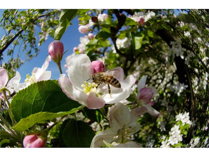 Fiore di mela