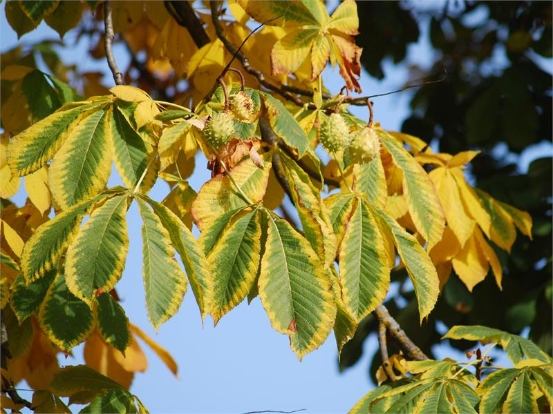 Castagno in autunno