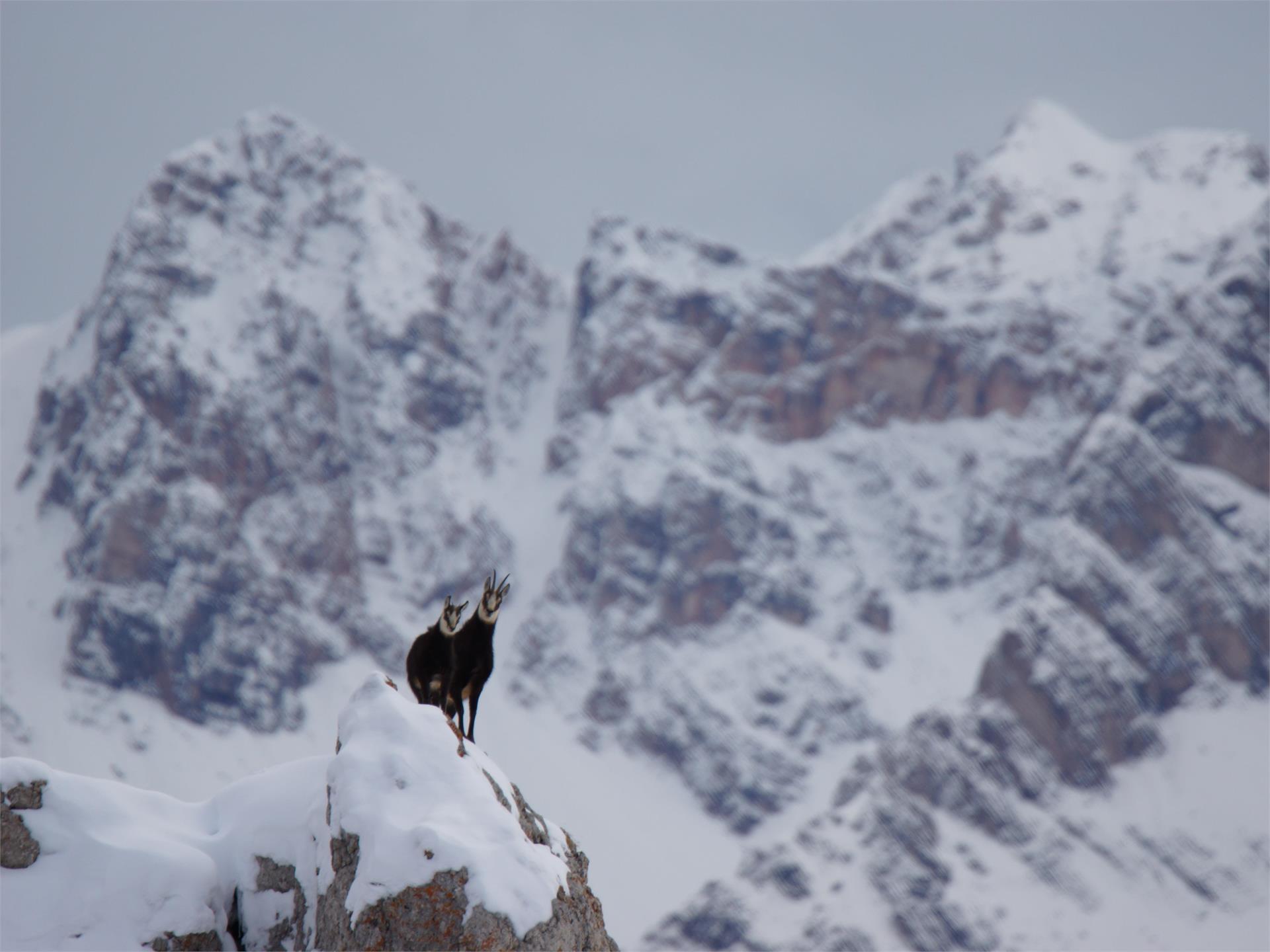 Dolomiti Ranger - Wildbeobachtung im Schnee