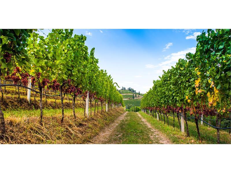 Reblandschaft am Gewürztraminer Weinweg