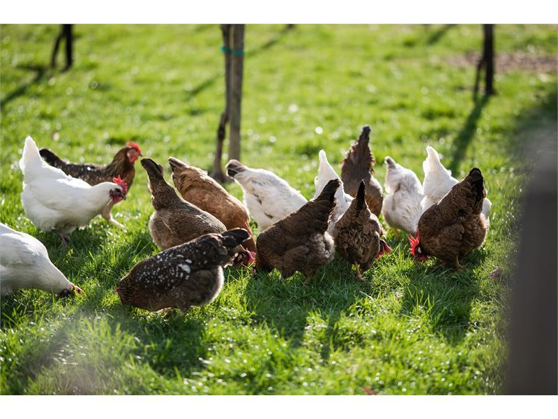 Hühnereier im Anmarsch