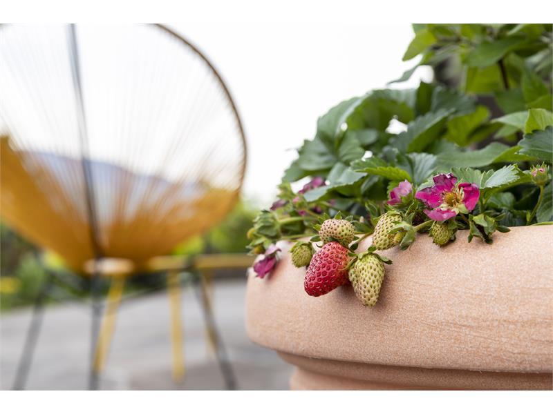 Frische Erdbeeren und Blumen im Paulus Rooms Garten