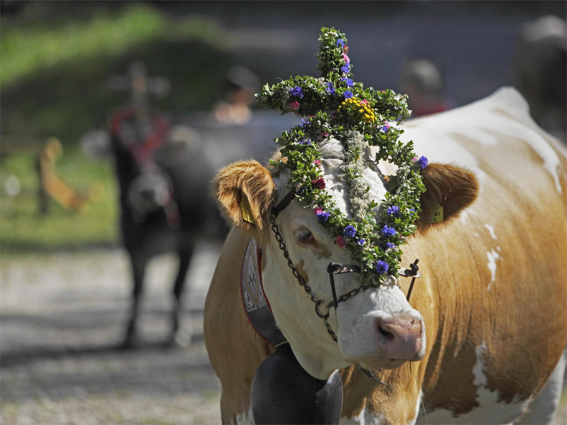 Ceremonial driving down of cattle from the mountain pastures into the valley