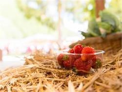 Sehen-Riechen-Schmecken / Erdbeersortenverkostung