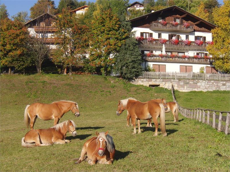 I cavalli avelignesi che pascolano - Casa Hafner