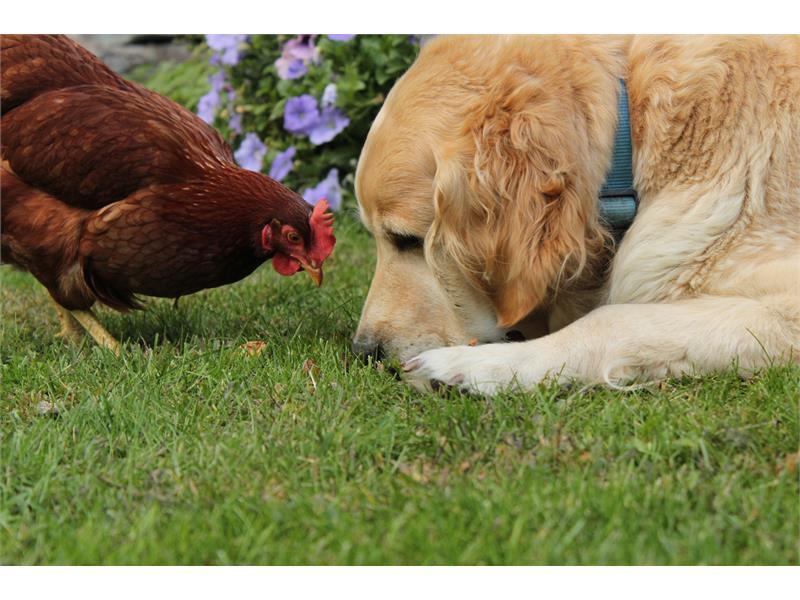Henne Patty mit Hund Ronja
