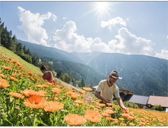 Schmiedthof - Erbe officinali da coltivazione biologica montana