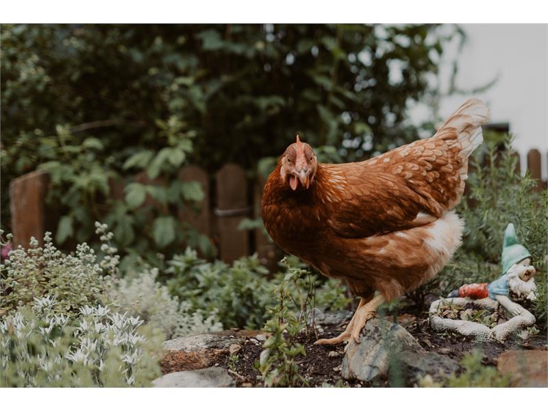 Hühner auf der Kräuterecke