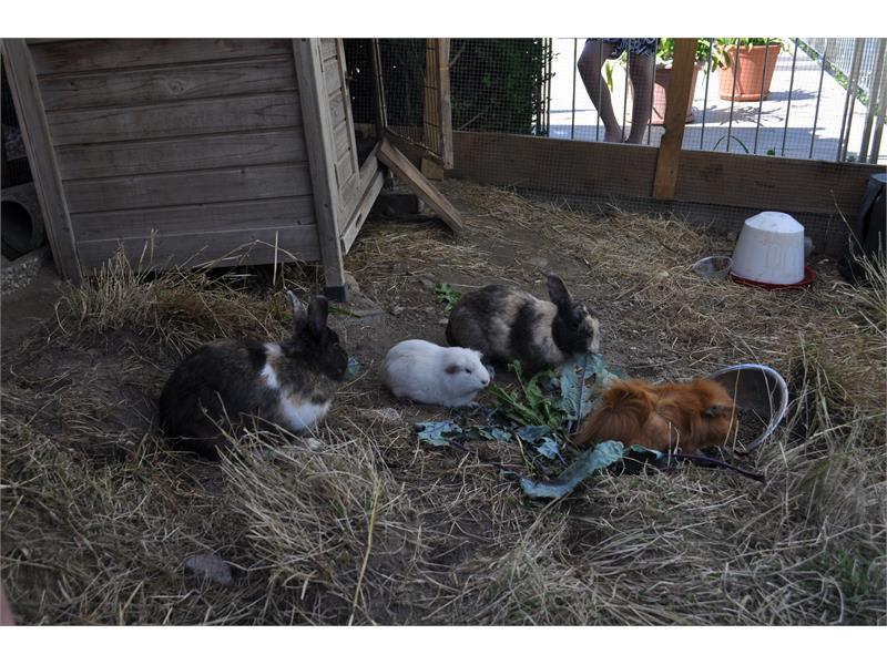 Streichelzoo mit Hasen und Meerschweinchen