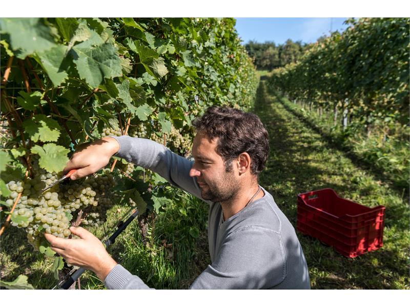 Grape harvest zu Tschötsch