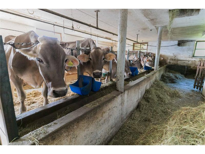 Le nostre mucche - Maso Gruberhof a Verano, Alto Adige