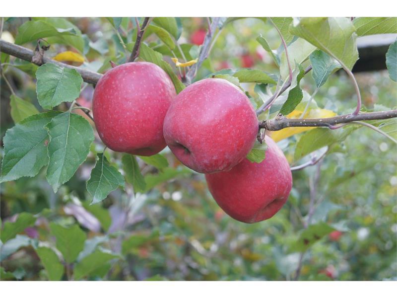 unsere gesunden Bioäpfel