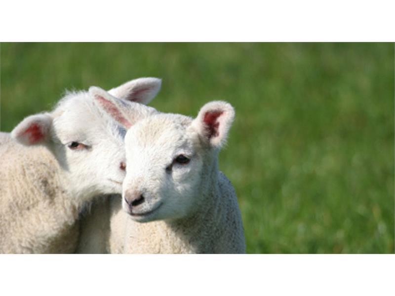 Le nostre pecore - Moar am Bichl