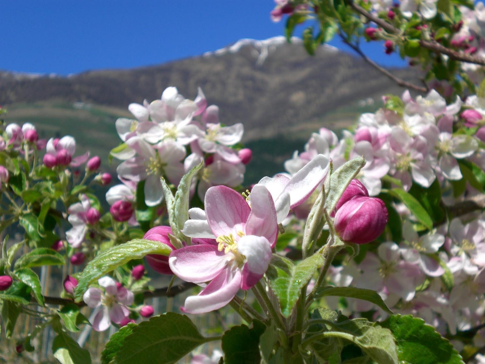 Magic blossom in Silandro and Lasa