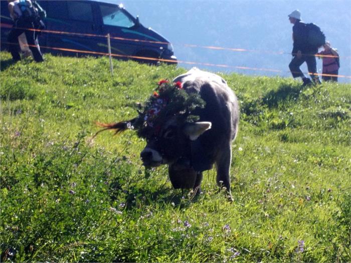 Transumansa del bestiame- Pardellerhof, Fié allo Sciliar