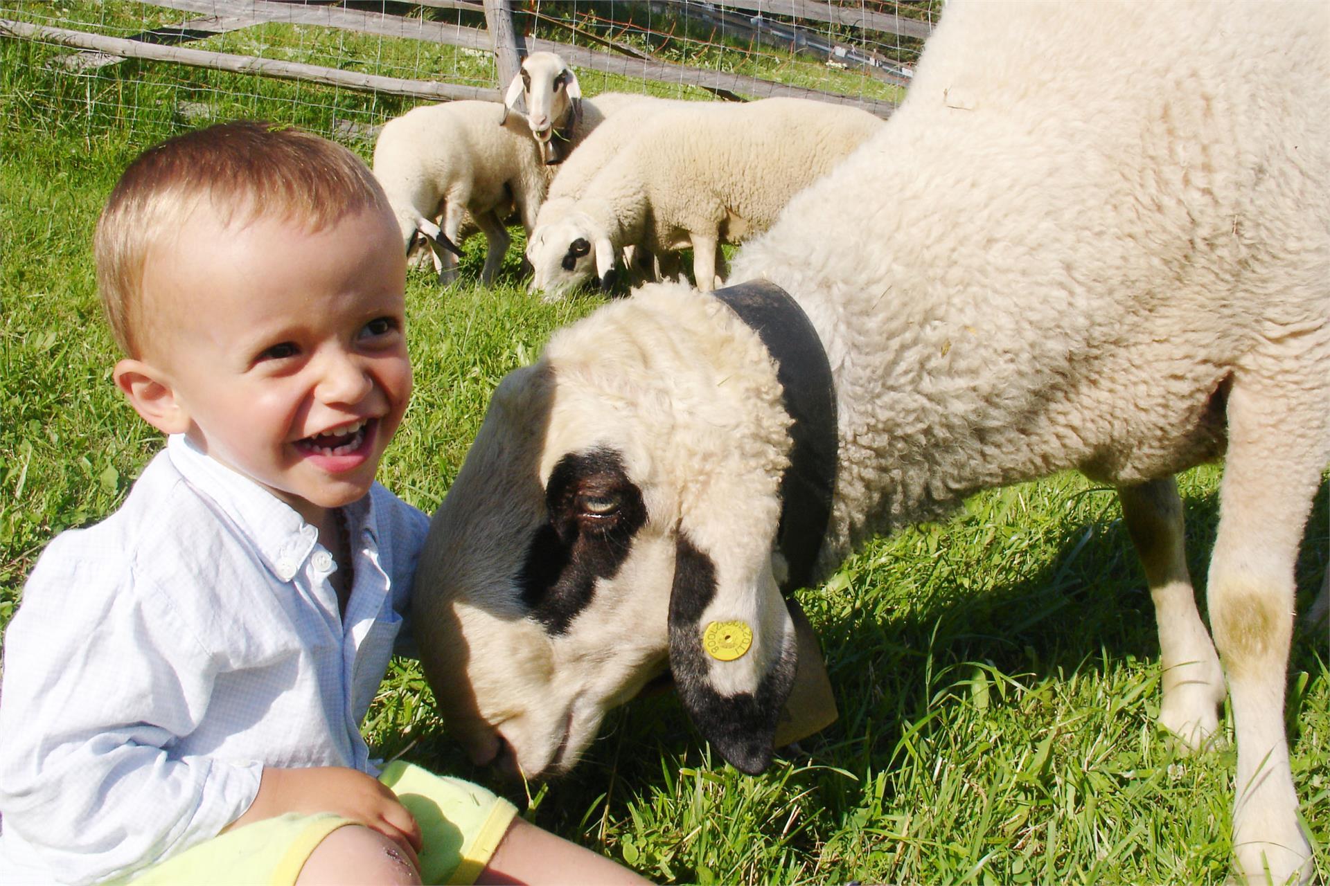 Simon with our sheeps