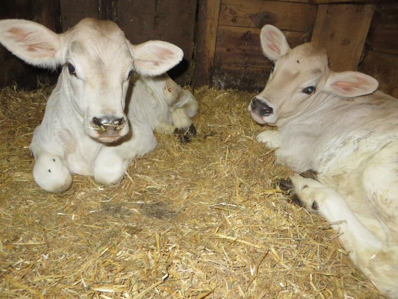 Zwillinge im Stall- Schantlhof, Völs am Schlern