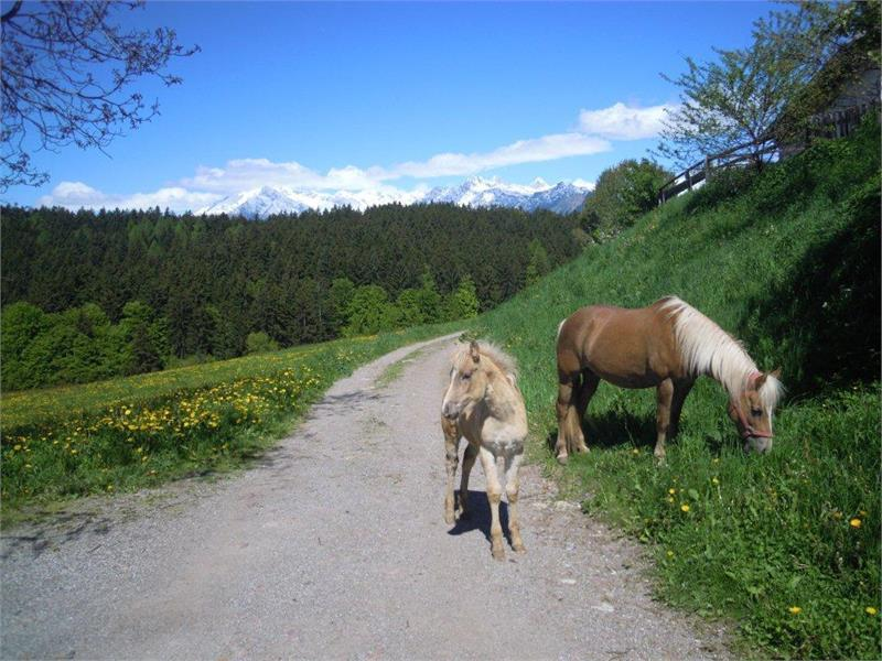 I nostri cavalli avelignesi sul maso Innergruberhof ad Avelengo