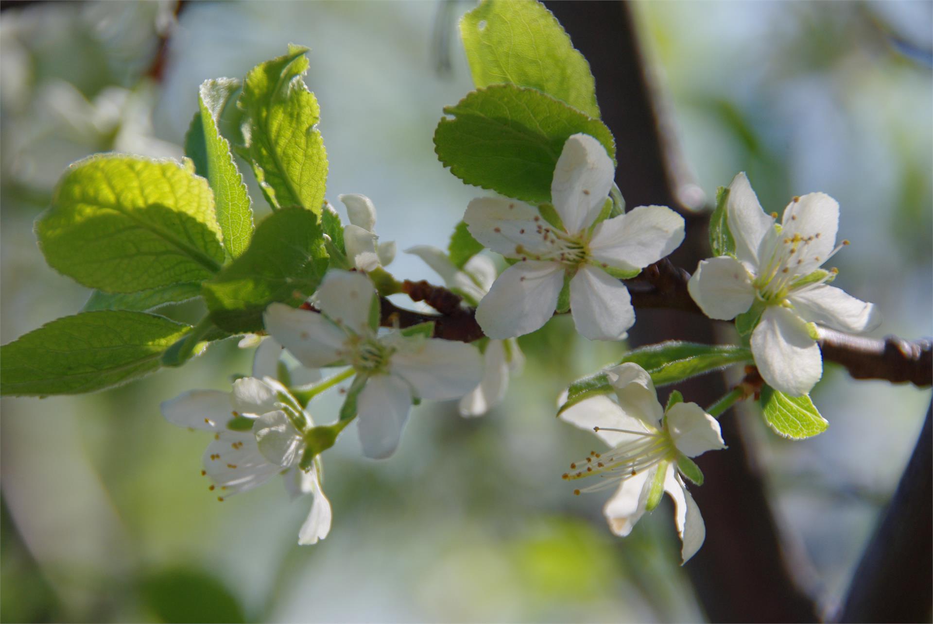 Escursione guidata tra prugni fioriti