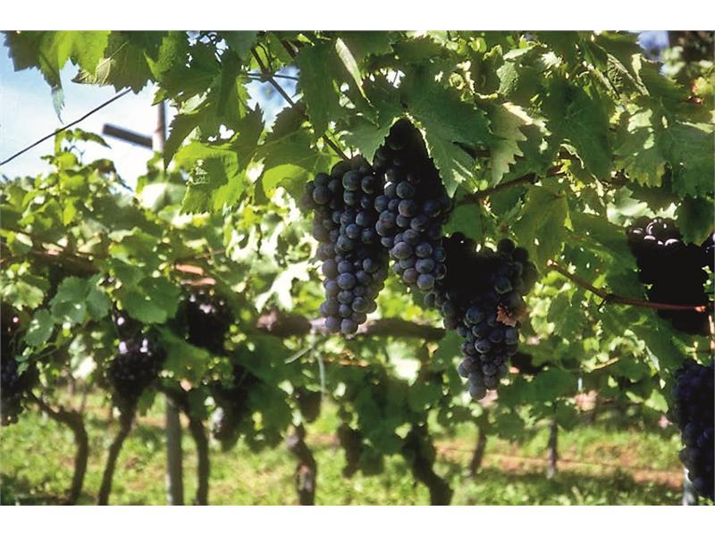 Die Weintrauben