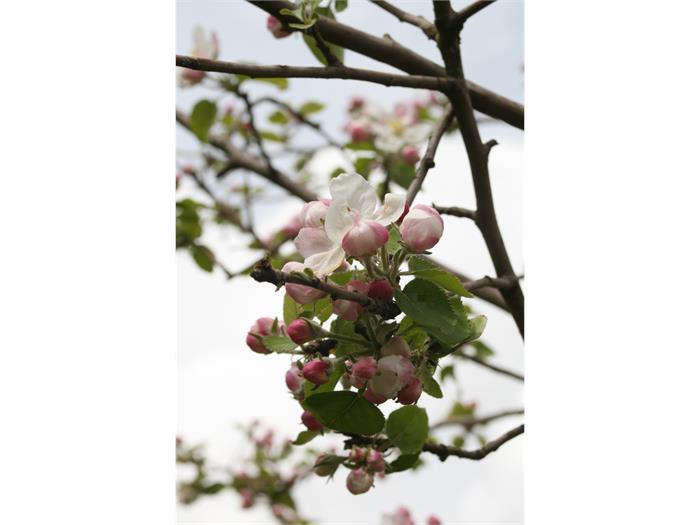 apple tree flowers, Trafunshof- Fié allo Sciliar