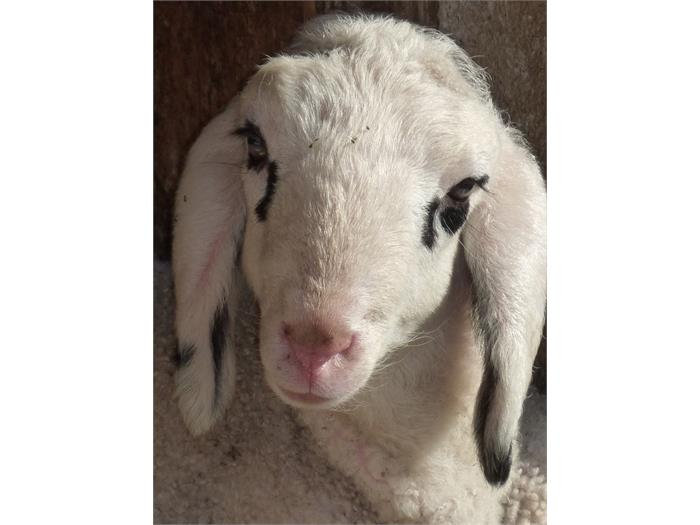 The tiny lamb