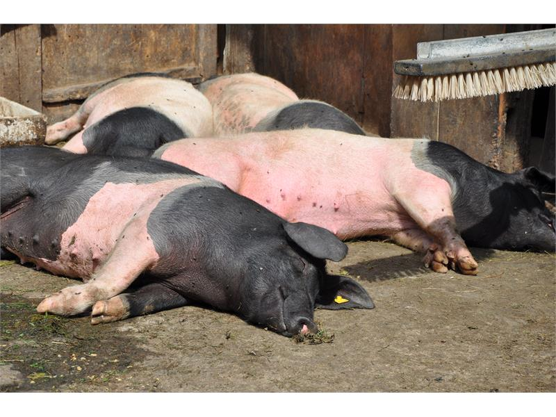 Pigs in the sun
