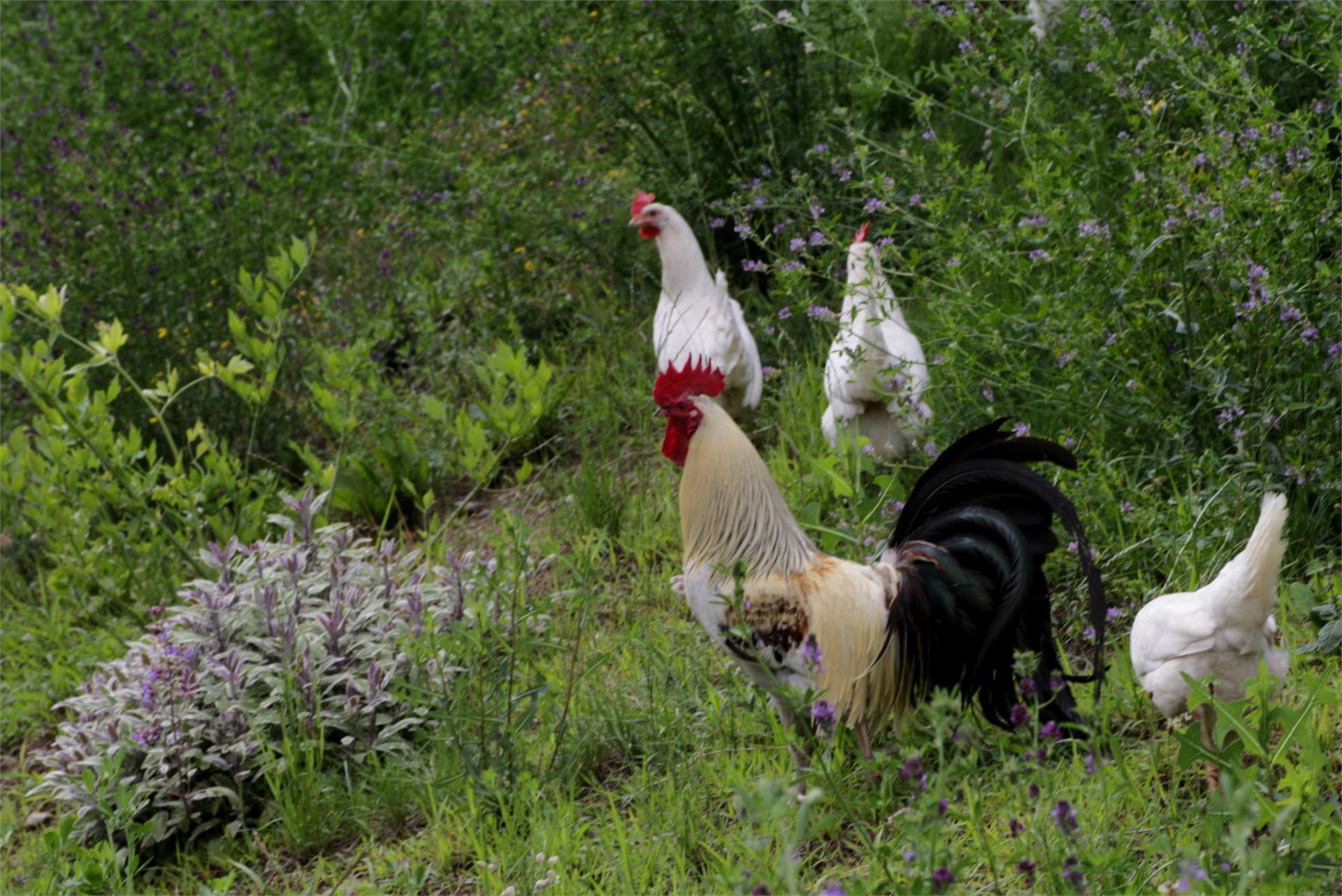Unsere glücklichen Hühner mit ihrem schönen Hahn