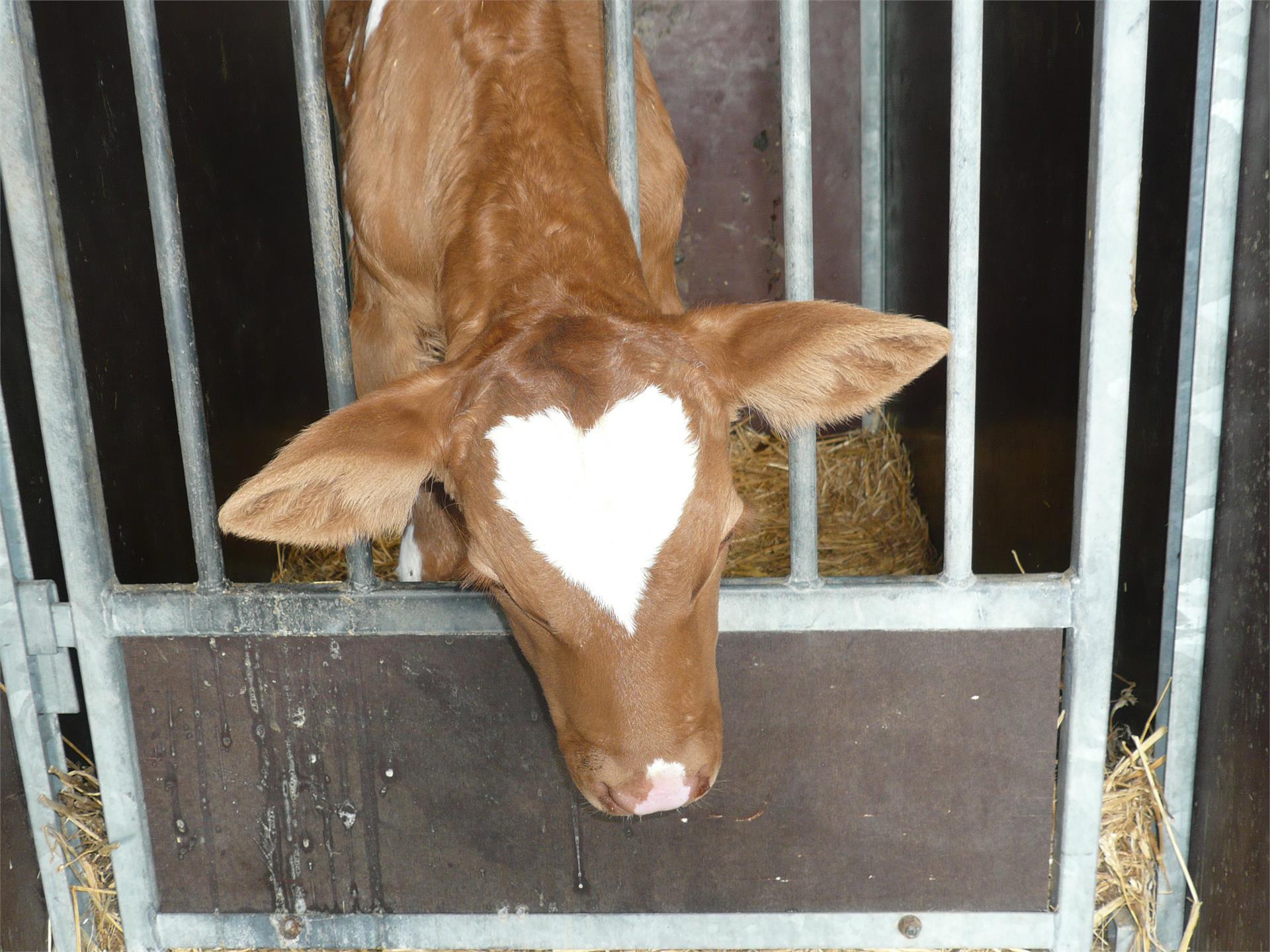 little calf Rosa- Funtnatscherhof, Fié allo Sciliar