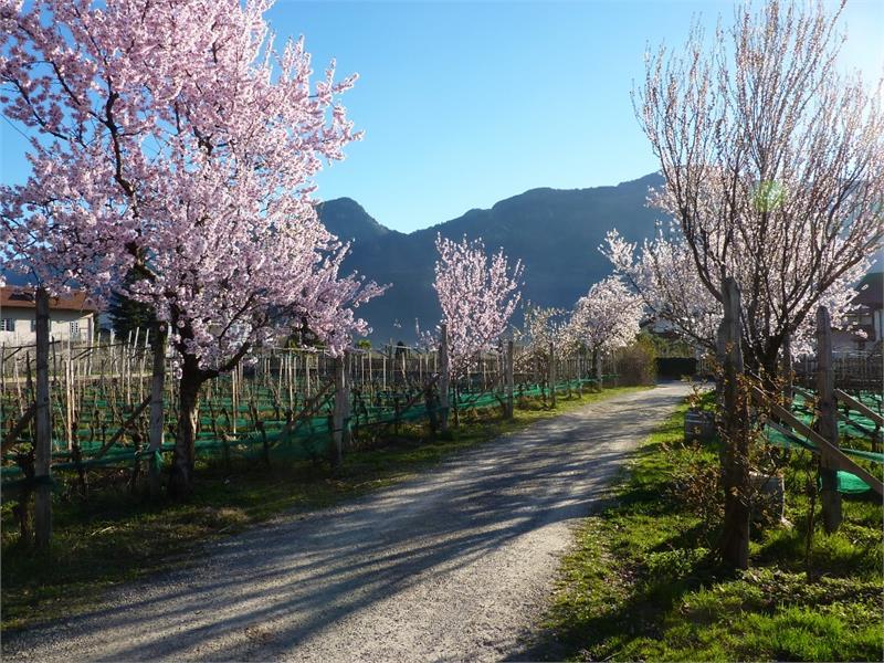 die Mandelbaumblüte