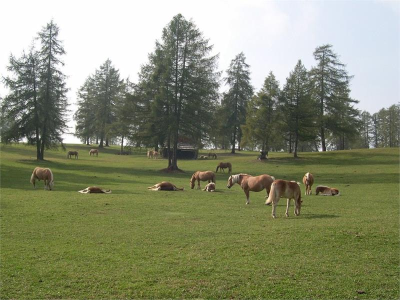 Haflinger Horses on the Salto High Plateau and beautiful larches