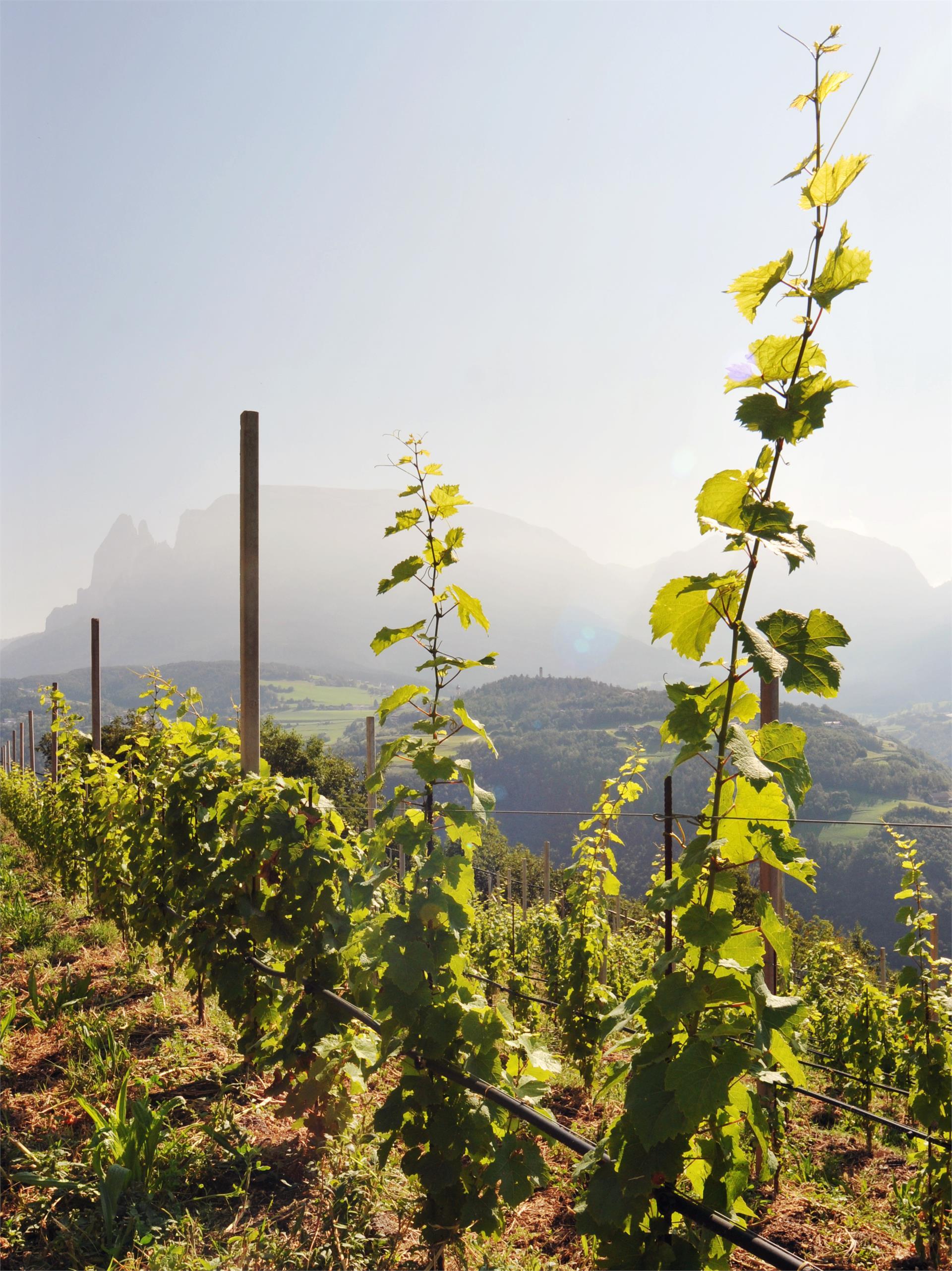 young wine garden