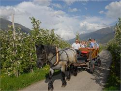 Carriage drive through the apple gardens around Silandro