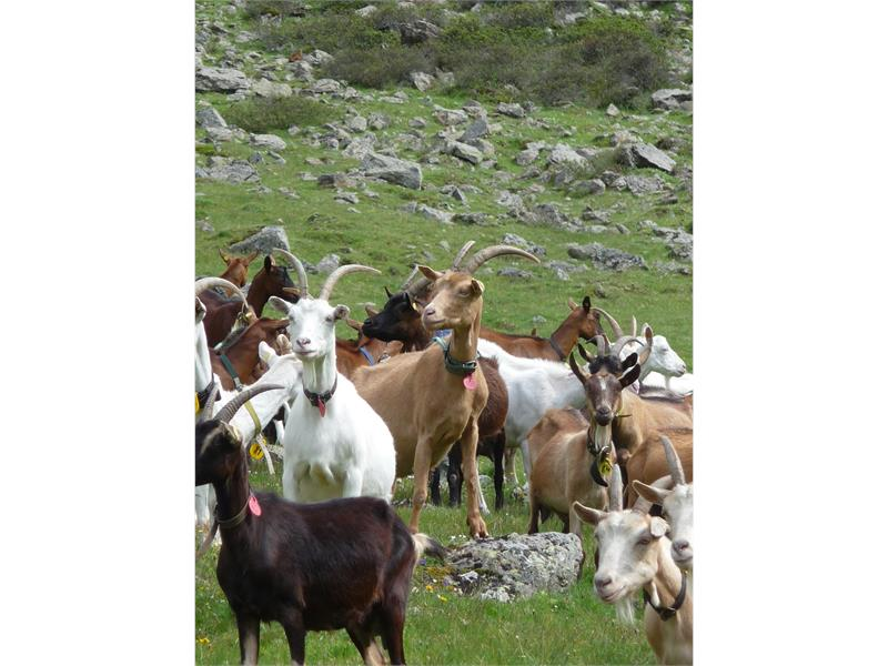 Goates