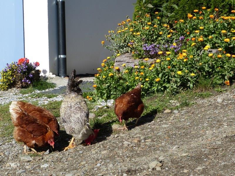 i polli ruspanti