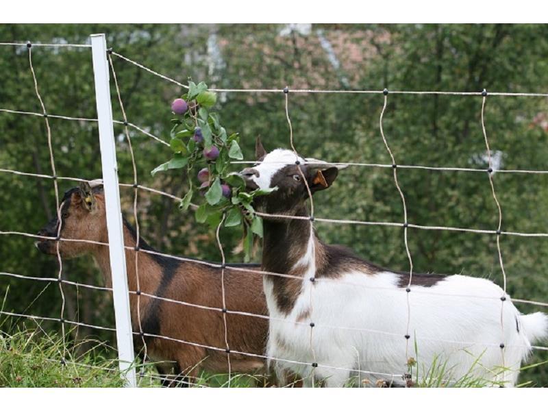 Etwas Leckeres für die Ziegen am Hof