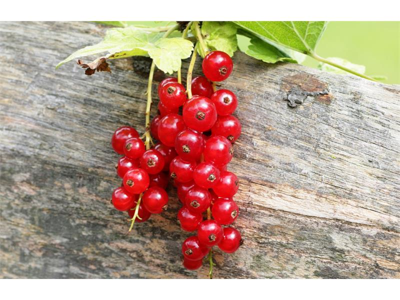 Red currant and other fruit grows at Paalhof